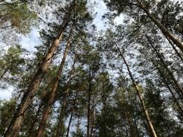 lasy milickie