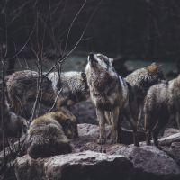 Oko w oko z wilkiem, albo niedźwiedziem, czyli co robić, kiedy spotkamy na swej drodze dzikie zwierzę?
