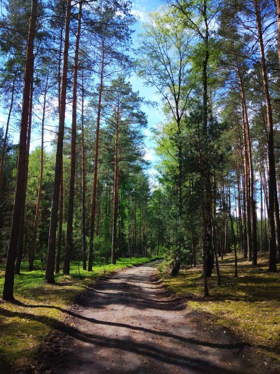 las sosnowy w gminie Milicz